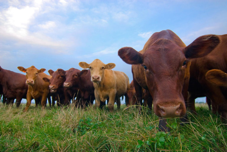 Bruxelles veut augmenter les importations de bœuf américain